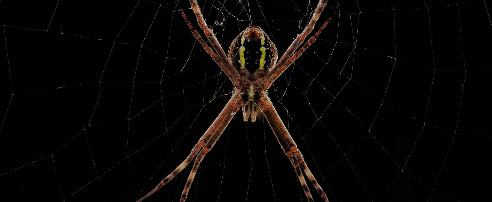 Sait Andrews cross spider.jpg
